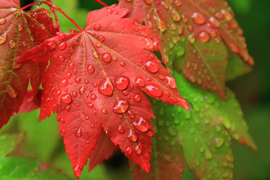 Maple Leaves Photograph - Early Autumn by Lee Amerson