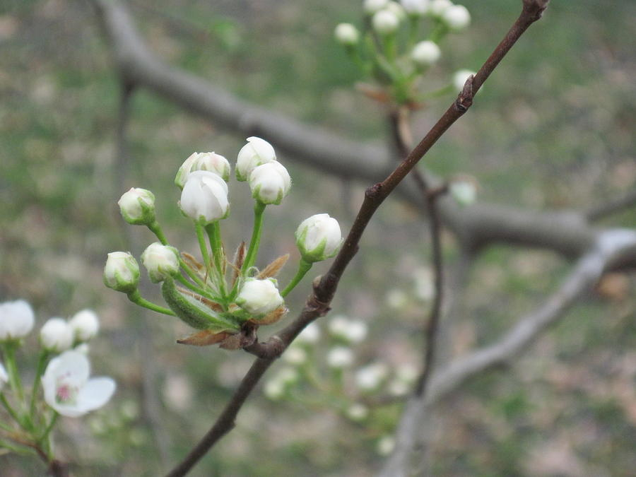 Nature Photograph - Early Blossoms by Rebecca Shaw