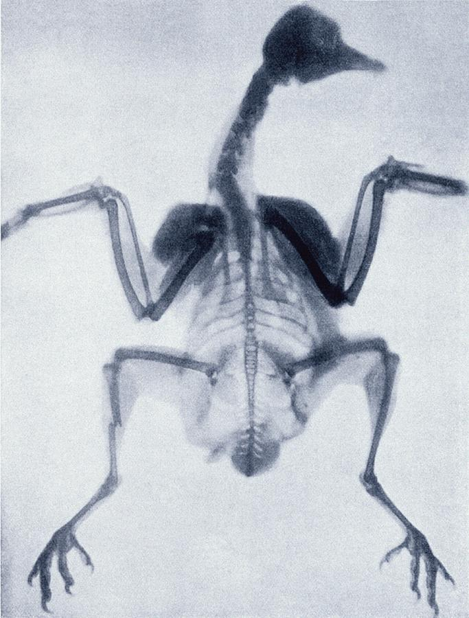 1895 Photograph - Early X-ray Of A Bird by Sheila Terry