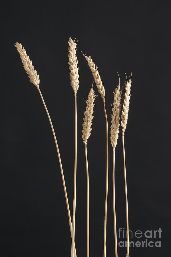 Agriculture Photograph - Ears Of Wheat by Bernard Jaubert