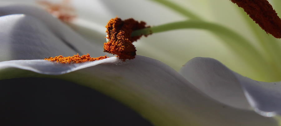Floral Photograph - Easter Lily by Kume Bryant