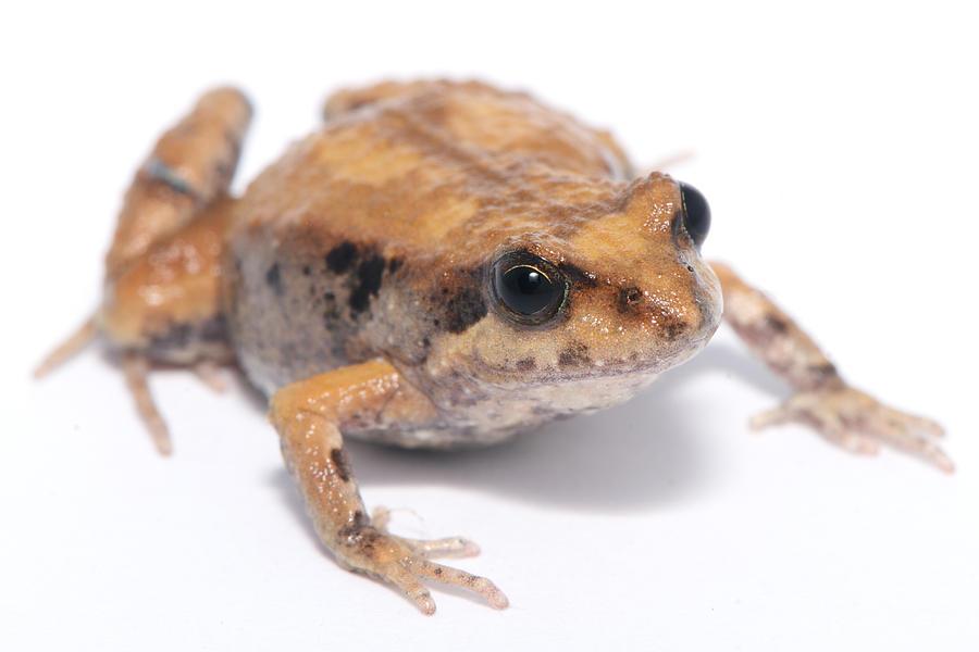 Limnodynastes Dumerili Photograph - Eastern Banjo Frog Isolated On White by Brooke Whatnall