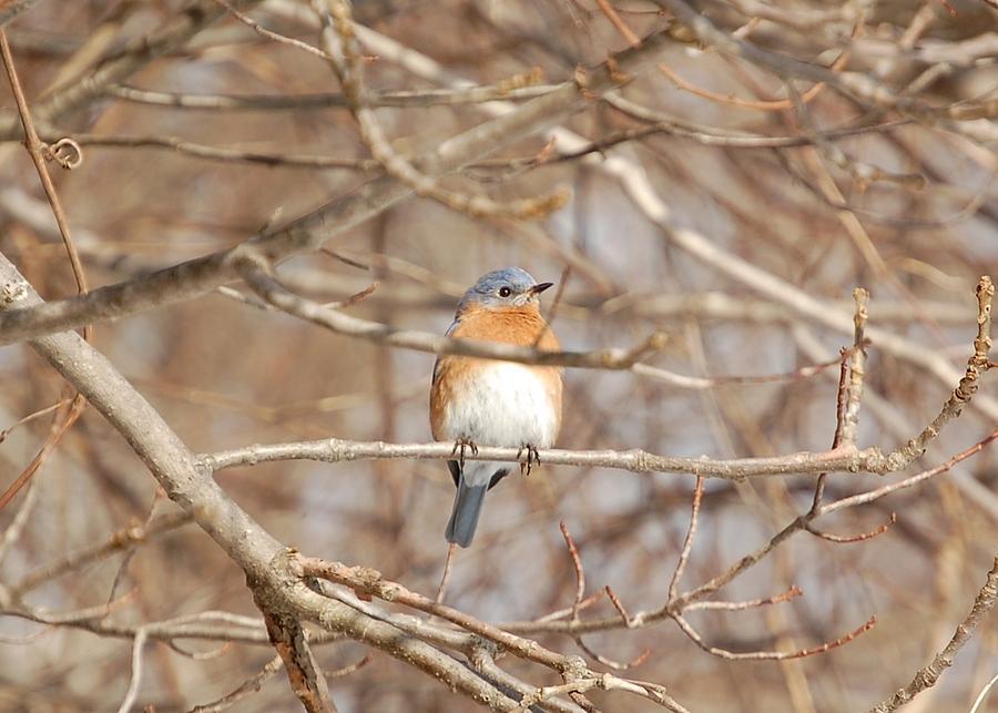 Eastern Bluebird by Mary McAvoy