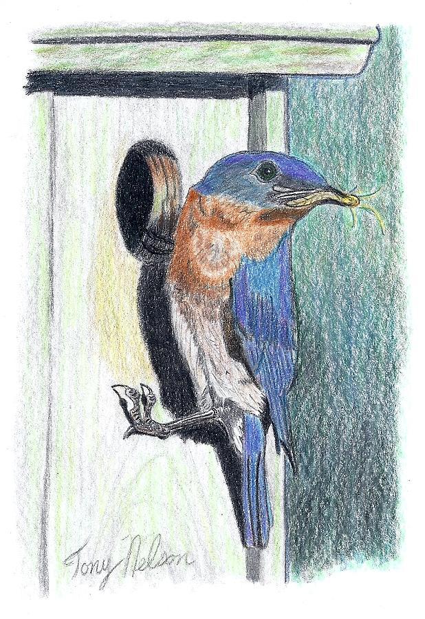 Blue Birds Drawing - Eastern Bluebird by Tony  Nelson
