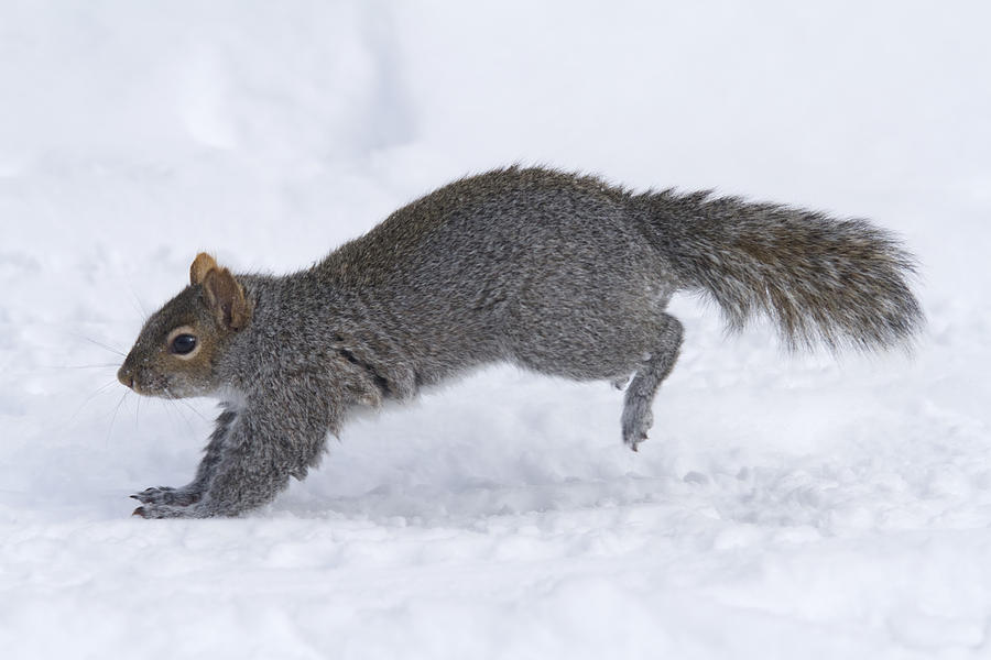 Eastern Gray Squirrel Running Photograph By Philippe Henry