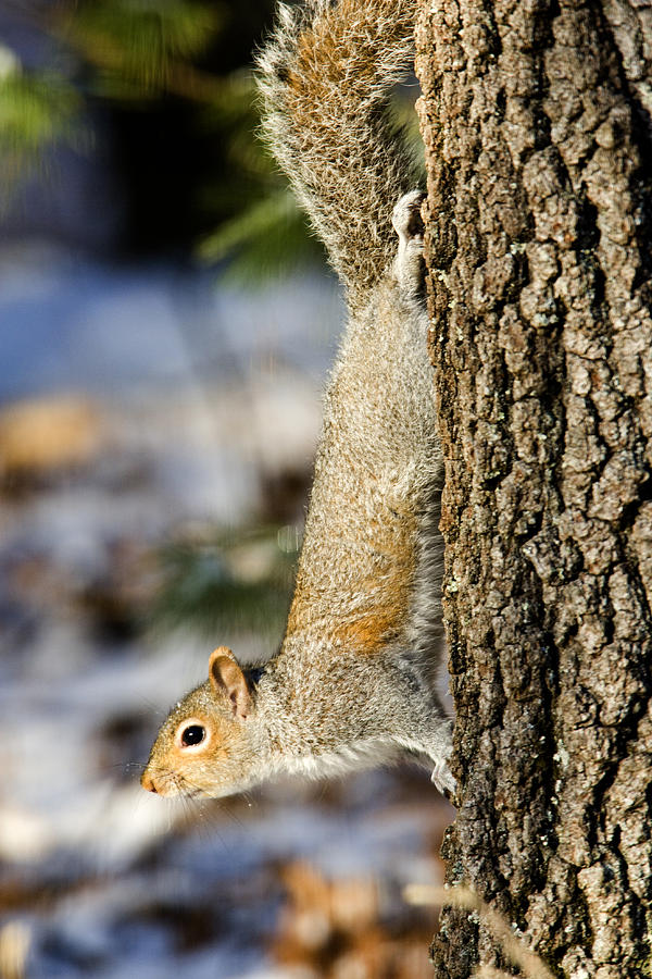 One Animal Photograph - Eastern Gray Squirrel Sciurus by Tim Laman