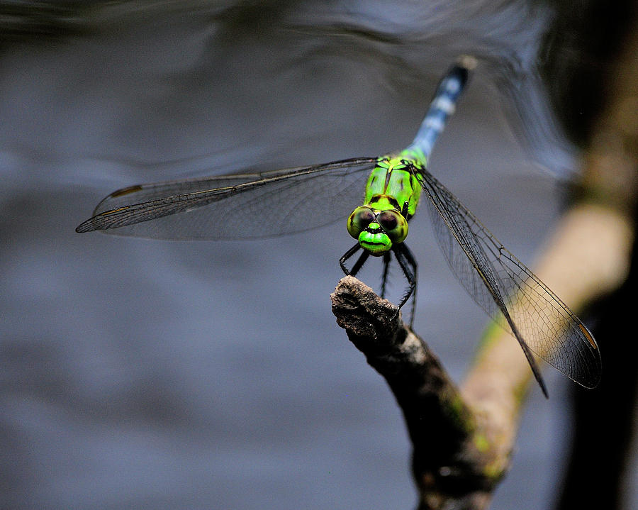 Eastern Photograph - Eastern Pondhawk by Bill Dodsworth