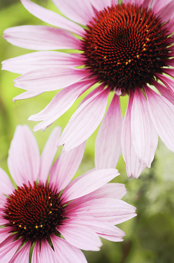 Vertical Photograph - Eastern Purple Cone Flowers by Dhmig Photography