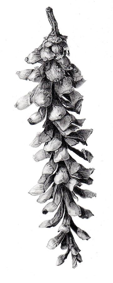 Evergreen Drawing - Eastern White Pine by Inger Hutton
