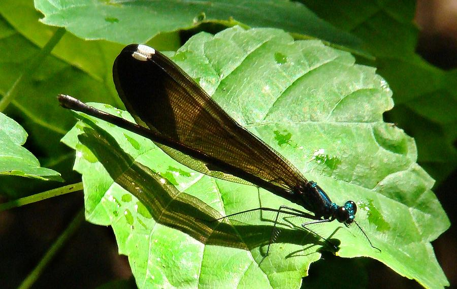 Damselfly Photograph - Ebony Jewelwing Damselfly II by Bruce W Krucke