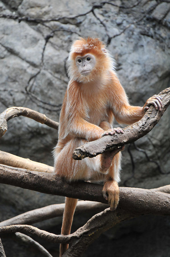 Endangered Photograph - Ebony Langur by Mike Martin
