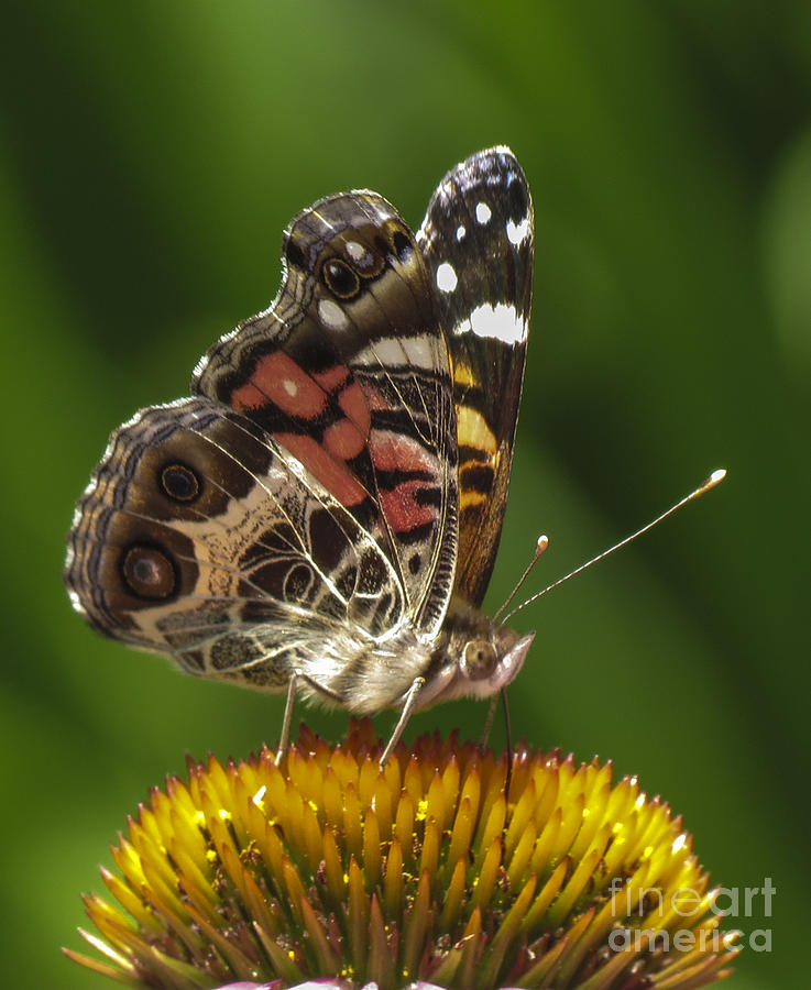 Echinacea Photograph - Echinacea Butterfly Meal by Darleen Stry