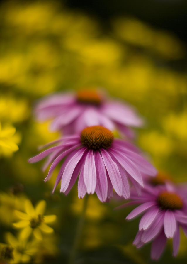 Echinacea Photograph - Echinacea Dreamy by Mike Reid
