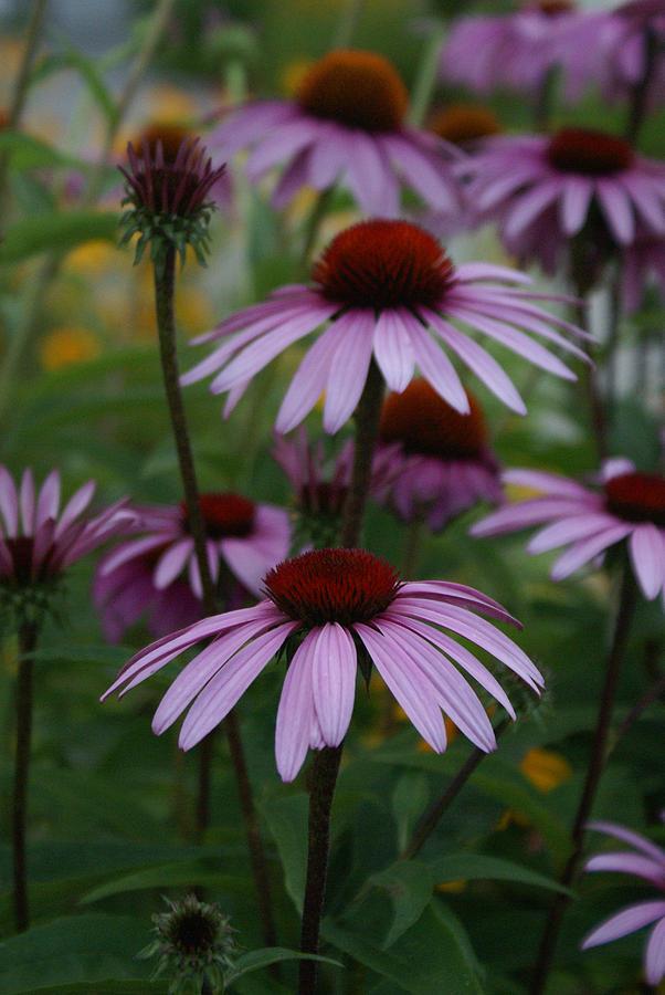 Flower Photograph - Echinatia by Margaret Steinmeyer