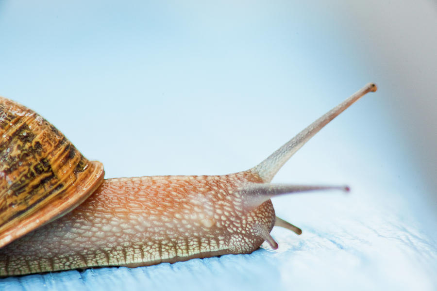 Horizontal Photograph - Edible Snail On  Wooden Ground by Guido Mieth