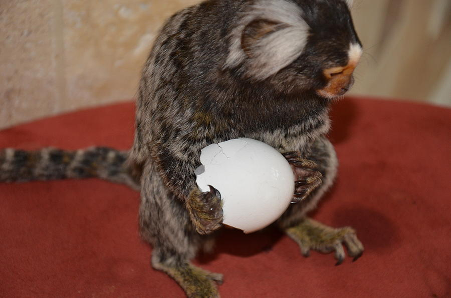 Making Cookies Chewy The Marmoset Digital Art - Eggs  Chewy The Marmoset by Barry R Jones Jr