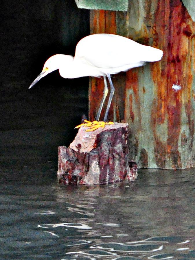 Bird Photograph - Egret Fishing by John Collins