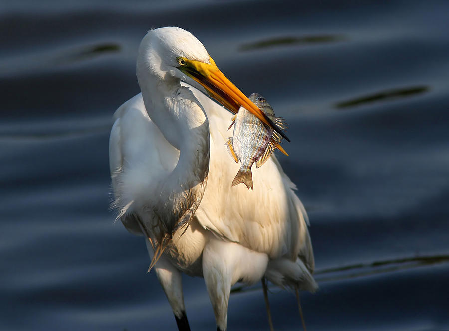 Great Egret Photograph - Egret Fishing by Phil Lanoue