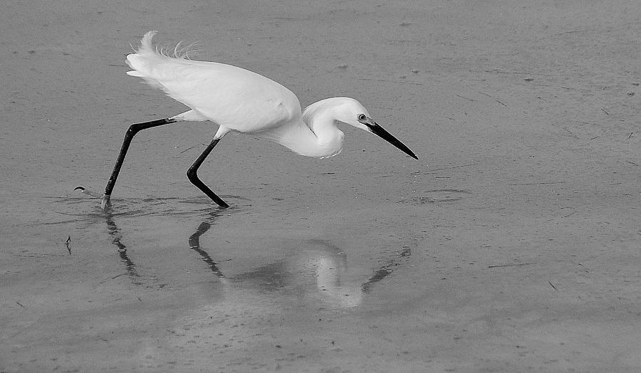 Black and white egret - photo#23