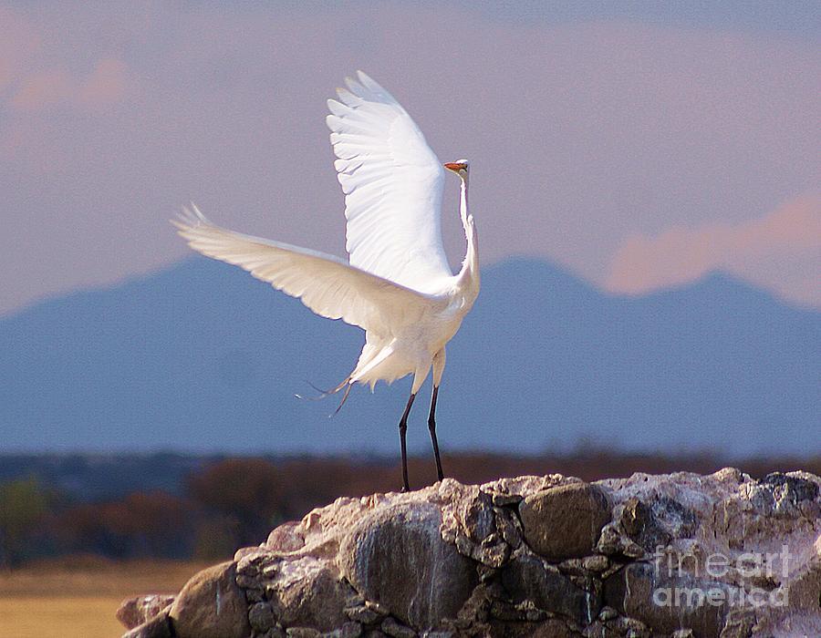 Great White Photograph - Egret On His Rock by John  Kolenberg