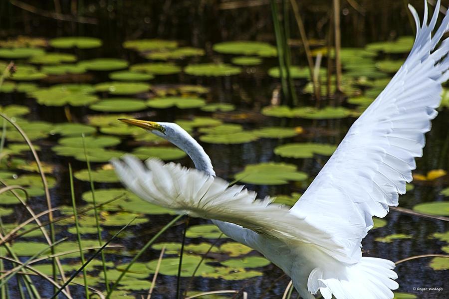 White Egret Photograph - Egret Take Off by Roger Wedegis