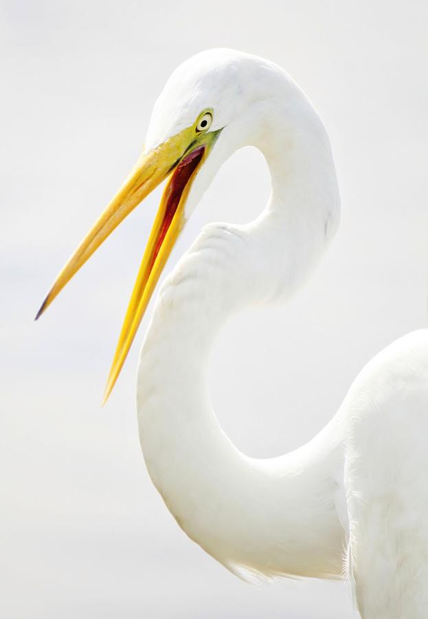 Great White Egret Photograph - Egret Up Close by Paulette Thomas