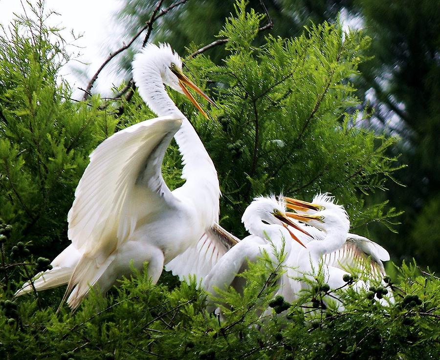 Great White Egret Photograph - Egret With Babies by Paulette Thomas