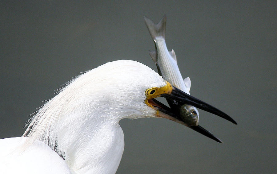 Great White Egret Photograph - Egret With His Catch Of The Day by Paulette Thomas