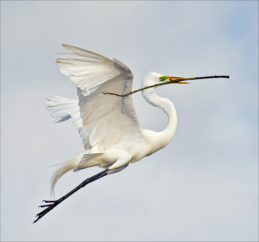 Egret Photograph - Egret With Nesting Material by Howard Knauer