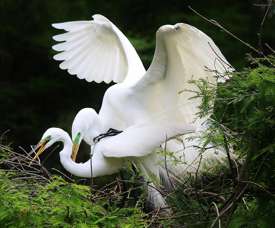 Great White Egret Photograph - Egrets Mating by Paulette Thomas