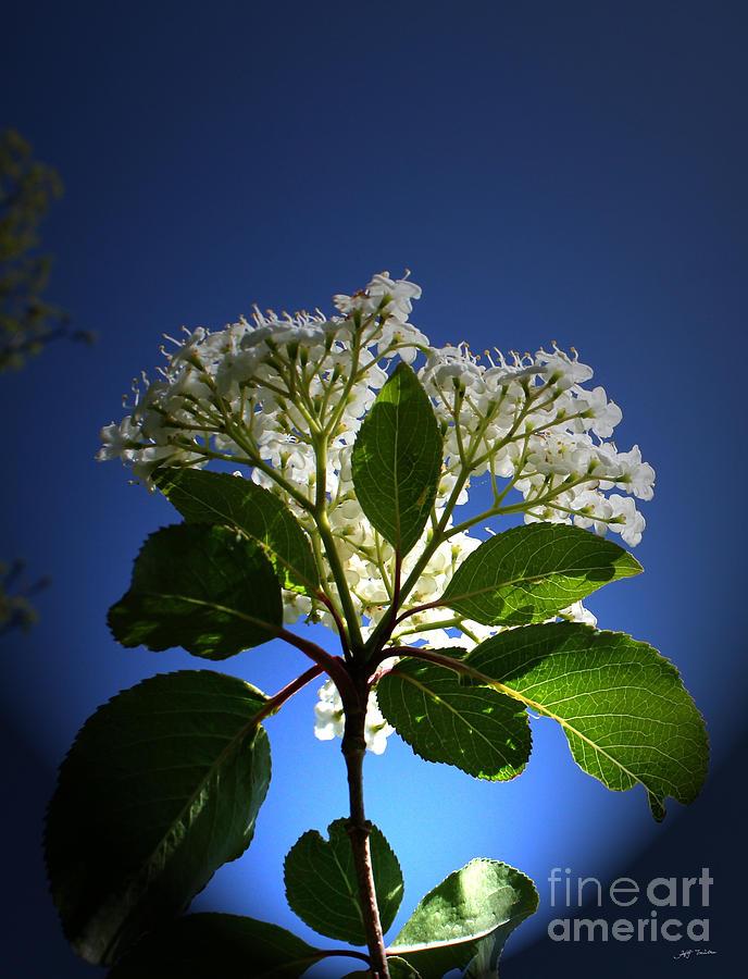 Elderberry Flower Photograph - Elderberry Flower by Heinz G Mielke