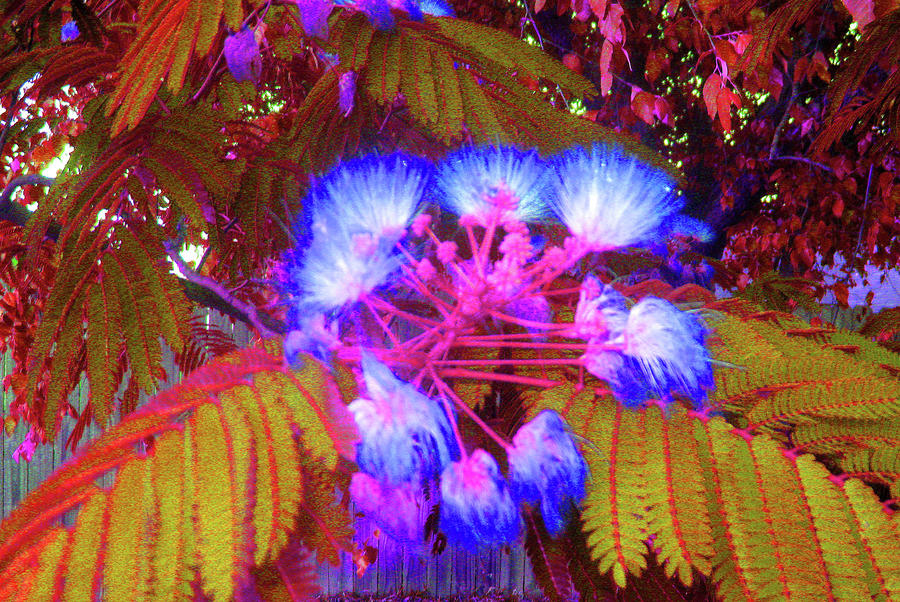 Mimosa Photograph - Electric Mimosa by Juliana  Blessington