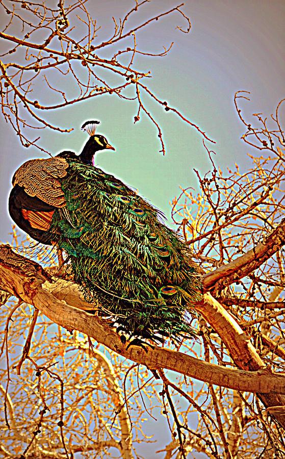 Peacock Photograph - Elegance by Diane montana Jansson