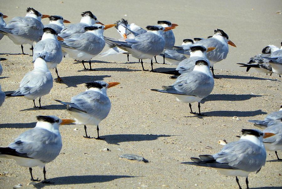 Bird Photograph - Elegant Terns Enjoying The Beach by Suzie Banks