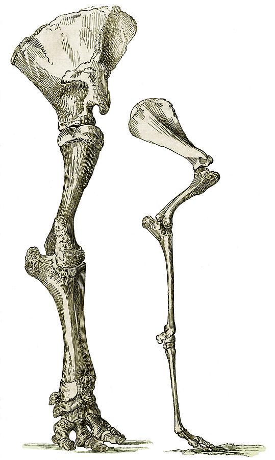 Elephant And Camel Leg Bones, Artwork Photograph by Sheila Terry