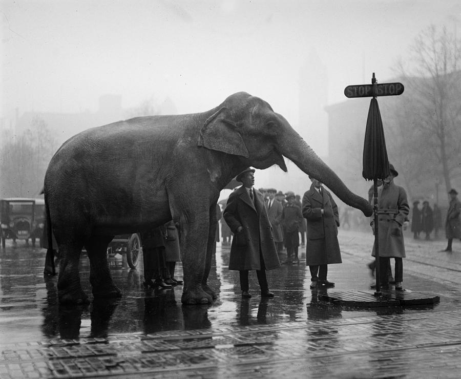 1920s Photograph - Elephant, And Stop Sign On A Wet Day by Everett