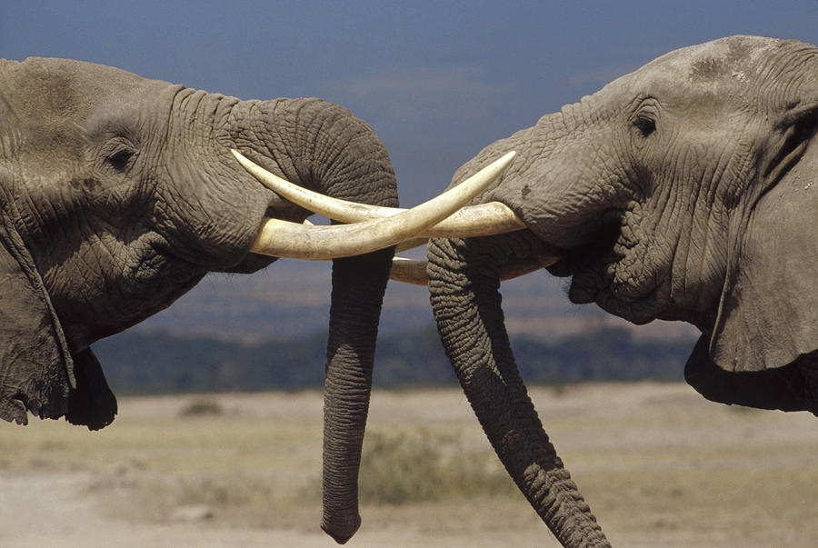 Elephant Bulls in Ritual Greeting Photograph by Gerry Ellis