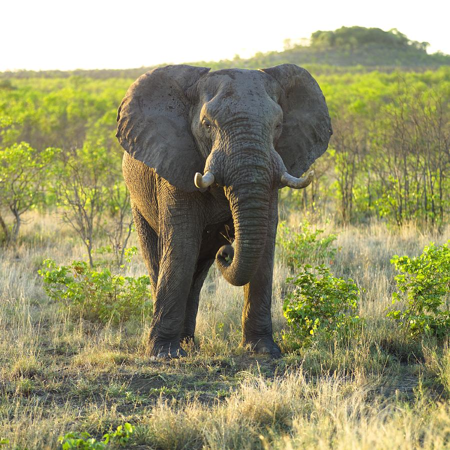 Animal Photograph - Elephant by Keith Levit