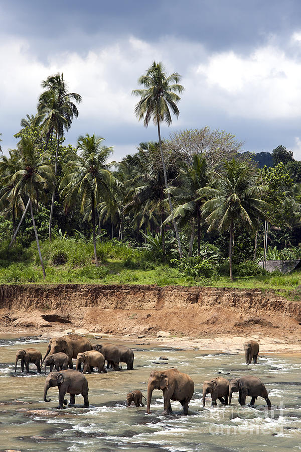 Animal Photograph - Elephants In The River by Jane Rix