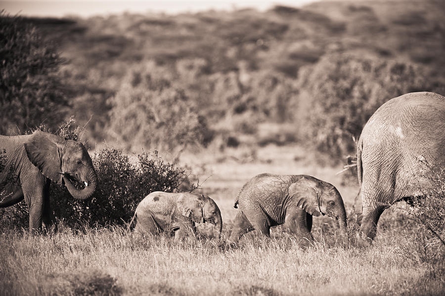 African Photograph - Elephants Walking In A Row Samburu Kenya by David DuChemin