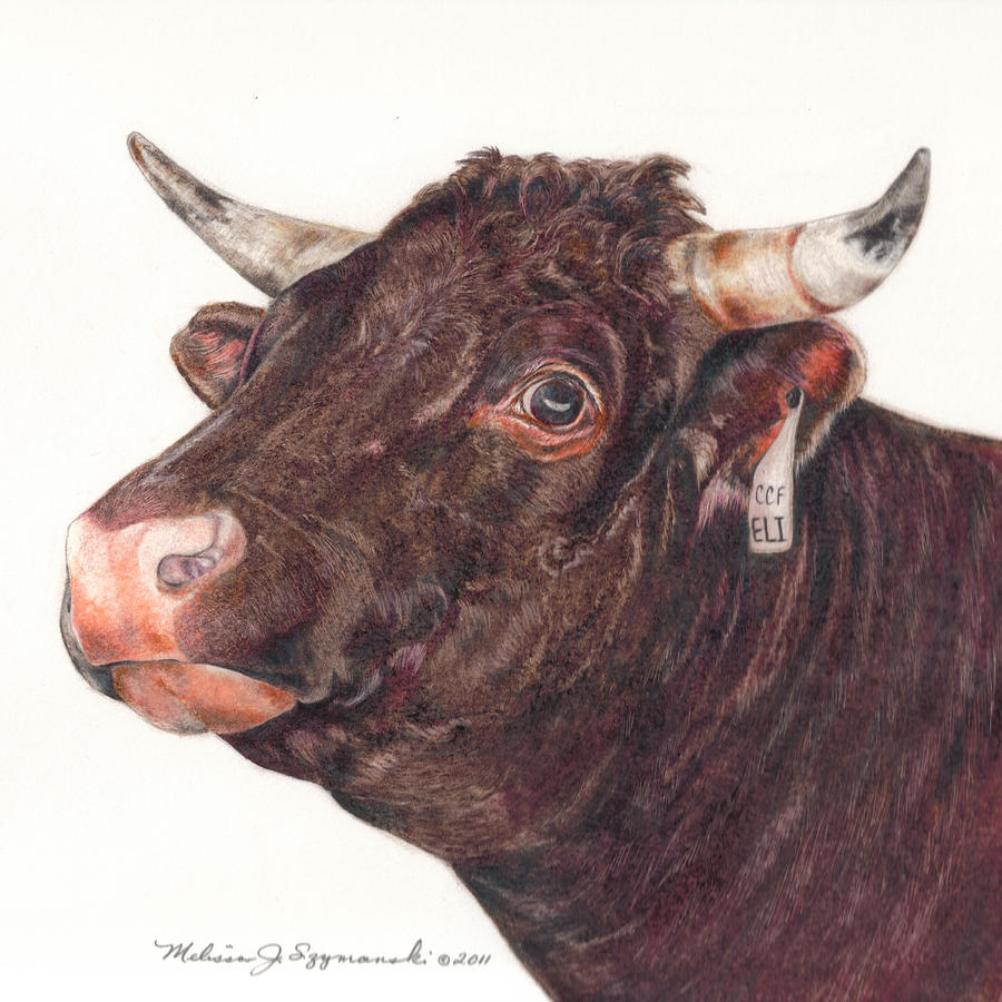 Cow Drawing - Elis Coming by Melissa J Szymanski