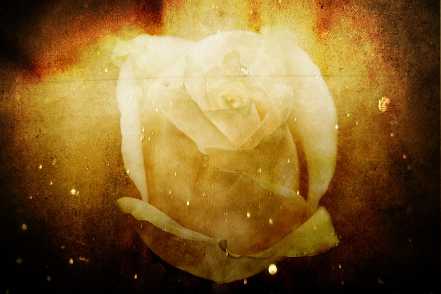 Elizabeth Barrett Browning Rose Photograph by Toni Hopper