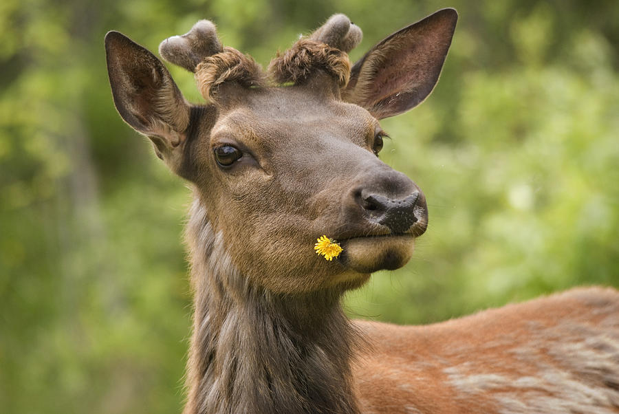 Brown Photograph - Elk Cervus Canadensis With Dandelion In by Philippe Widling