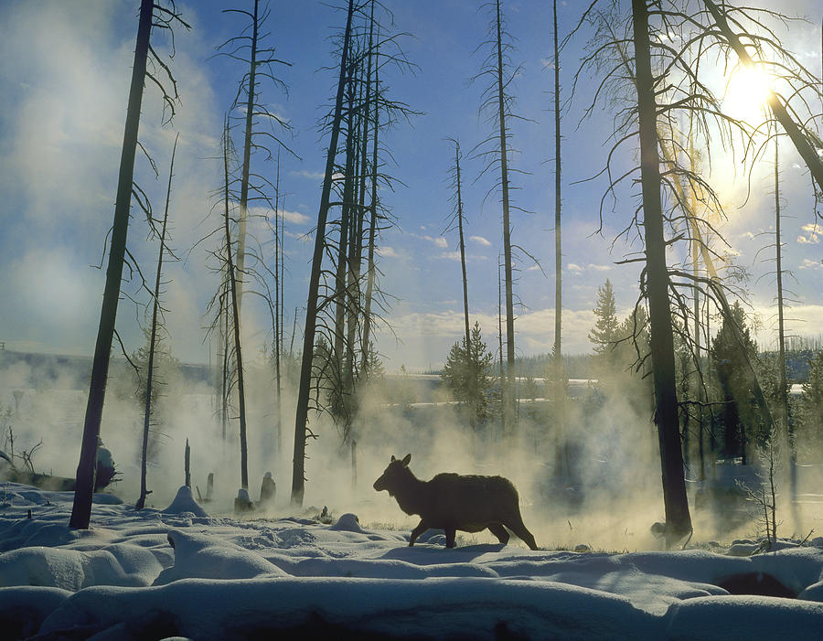 Elk Female In The Snow With Steam Photograph by Tim Fitzharris