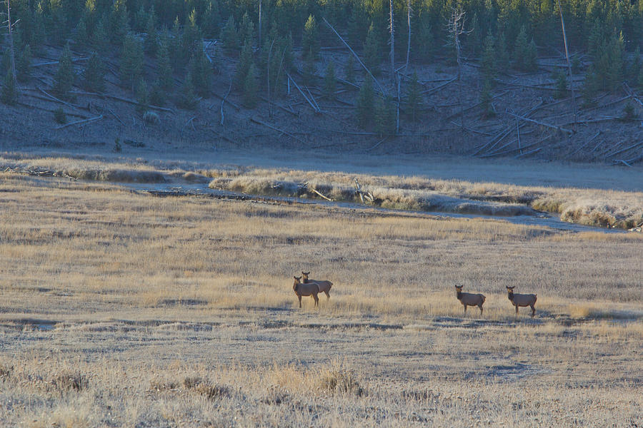 Yellowstone Photograph - Elk In The Morning by Twenty Two North Photography