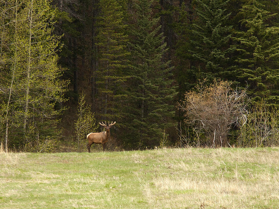Canadian Rockies Photograph - Elk by Larry Roberson