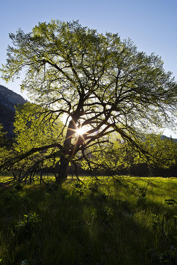 Elm Tree Photograph - Elm In Cooks Meadow by Rick Berk