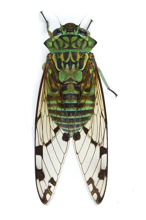 Emerald Cicada Barbilla Np Costa Rica Photograph by Piotr Naskrecki