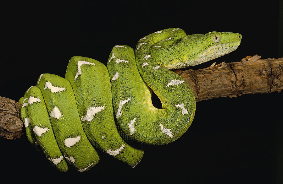 Emerald Tree Boa Corallus Caninus Photograph By Pete Oxford