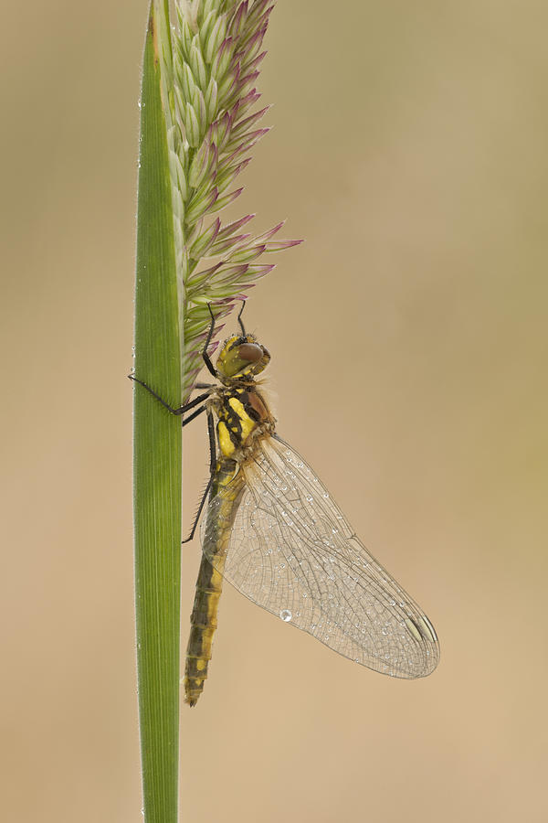 Black Darter Photograph - Emergent by Andy Astbury